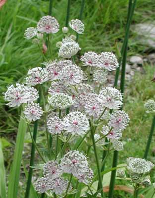 This native of Russia is also called Masterwort.  Hello.  Who thinks of these names.