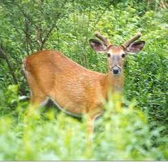 Doofus, a deer many in our valley will remember, eh.